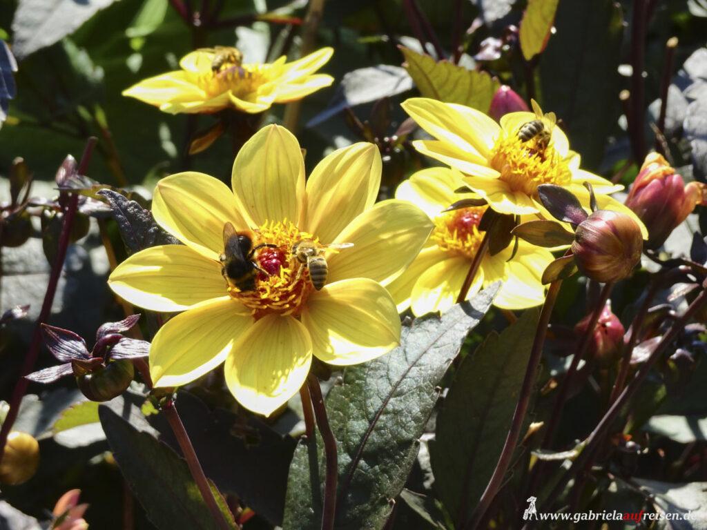 Bienen-auf-Dahlie